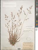 view Eragrostis macrothyrsa Hack. digital asset number 1