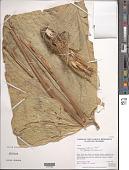 view Anthurium sp. digital asset number 1