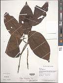 view Piper hispidum Sw. digital asset number 1