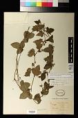 view Passiflora suberosa L. digital asset number 1