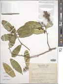 view Forchhammeria hintonii Paul G. Wilson digital asset number 1