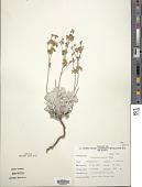 view Eriogonum saxatile S. Watson digital asset number 1