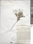 view Draba alpina L. digital asset number 1