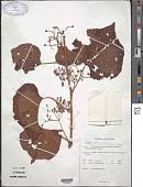 view Cissus latifolia Lam. digital asset number 1