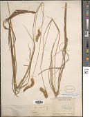 view Setaria pumila (Poir.) Roem. & Schult. digital asset number 1