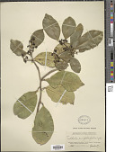 view Vepris simplicifolia (I. Verd.) Mziray digital asset number 1