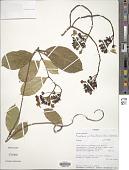 view Prestonia portobellensis (Beurl.) Woodson digital asset number 1