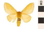 view Orange-striped Oakworm Moth digital asset number 1