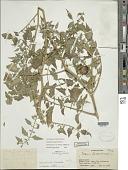 view Solanum lycopersicum L. digital asset number 1