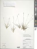 view Rhynchospora curvula Griseb. digital asset number 1