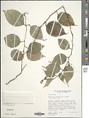 view Burmeistera fuscoapicata E. Wimm. digital asset number 1