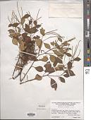 view Peperomia liebmannii C. DC. digital asset number 1