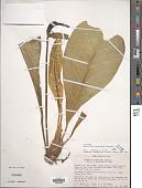 view Anthurium oxycarpum Poepp. digital asset number 1
