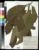 view Trukia carolinensis (Valeton) Kaneh. & Hatus. digital asset number 1