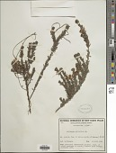 view Pultenaea tuberculata Pers. digital asset number 1