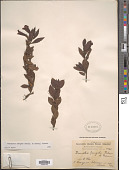 view Hemichaena levigata (B.L. Rob. & Greenm.) Thieret digital asset number 1