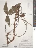 view Syngonium hastifolium Engl. digital asset number 1
