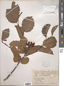 view Alnus incana subsp. rugosa (Du Roi) R.T. Clausen digital asset number 1