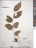view Dulacia candida (Poepp.) Kuntze digital asset number 1