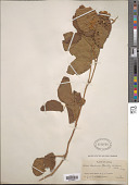 view Rubus keniensis Standl. digital asset number 1