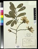 view Magnolia stellata (Siebold & Zucc.) Maxim. digital asset number 1