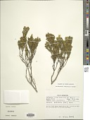 view Relhania sedifolia Harv. digital asset number 1