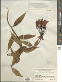 view Bomarea acutifolia (Link & Otto) Herb. digital asset number 1