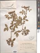view Rosa ruscinonensis Gren. ex Deseglise & Deseglise digital asset number 1