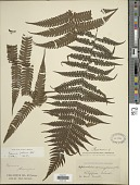 view Pleocnemia presliana Holttum digital asset number 1