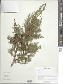 view Juniperus sp. digital asset number 1