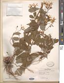 view Gillenia trifoliata (L.) Moench digital asset number 1