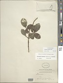 view Psychotria mauiensis Fosberg digital asset number 1