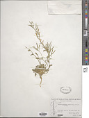 view Arabis arenicola (Richardson ex Hook.) Gelert digital asset number 1