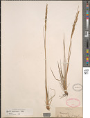 view Agrostis sandwicensis Hillebr. digital asset number 1