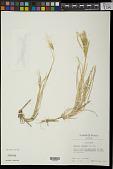 view Chloris radiata (L.) Sw. digital asset number 1
