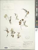 view Lemmaphyllum carnosum (J. Sm. ex Hook.) C. Presl digital asset number 1
