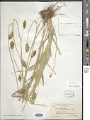 view Carex fracta Mack. digital asset number 1