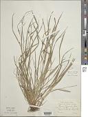 view Carex oligocarpa Willd. digital asset number 1