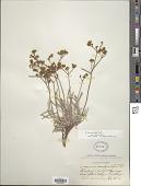 view Eriogonum brevicaule Nutt. digital asset number 1