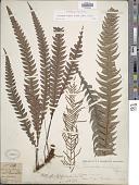 view Blechnum fragile (Liebm.) C.V. Morton & Lellinger digital asset number 1