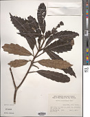 view Helicia cochinchinensis Lour. digital asset number 1