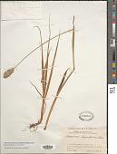 view Alopecurus pratensis subsp. laguriformis (Schur) Tzvelev digital asset number 1
