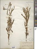 view Cuscuta polygonorum Engelm. digital asset number 1