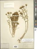 view Grindelia squarrosa var. serrulata (Rydb.) Steyerm. digital asset number 1