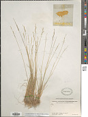 view Puccinellia hackeliana (V.I. Krecz.) V.I. Krecz. ex Drobow digital asset number 1