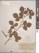view Rubus pseudodegener Sudre digital asset number 1