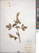 view Rubus pinnatus Willd. digital asset number 1