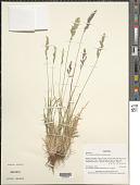 view Poa alopecurus (Gaudich. ex Mirb.) Kunth digital asset number 1