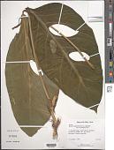 view Monstera adansonii Schott var. adansonii digital asset number 1
