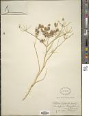 view Tordylium aegyptiacum Lam. digital asset number 1